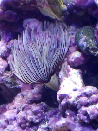 Feather Duster Worm Baby -s0da-'s Aq...